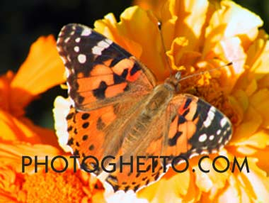 Monarch Butterfly Photo Image