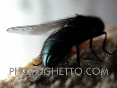 Blue bottle Fly Photo Image