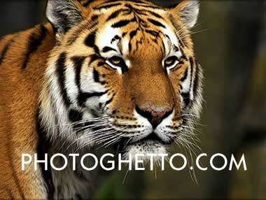 Tiger Photo Image