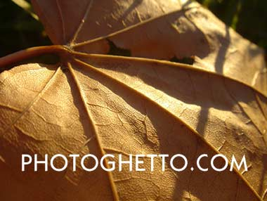 Autumn Oak Leaf Photo Image