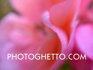 Geranium Photo Image